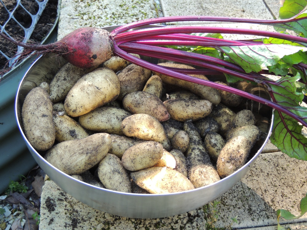 Last years potato crop