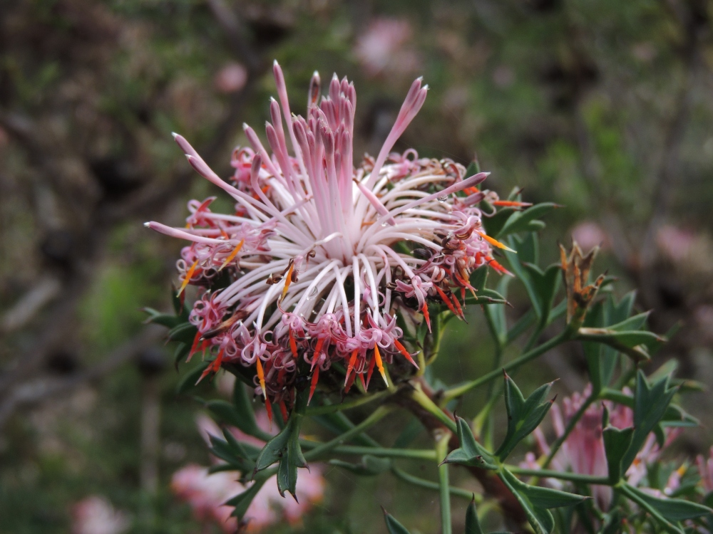 Pincushion Cone Flower (Protea family)