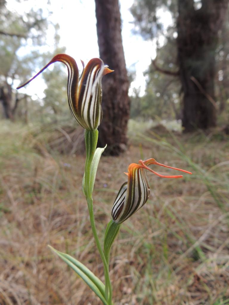 Rare native orchid