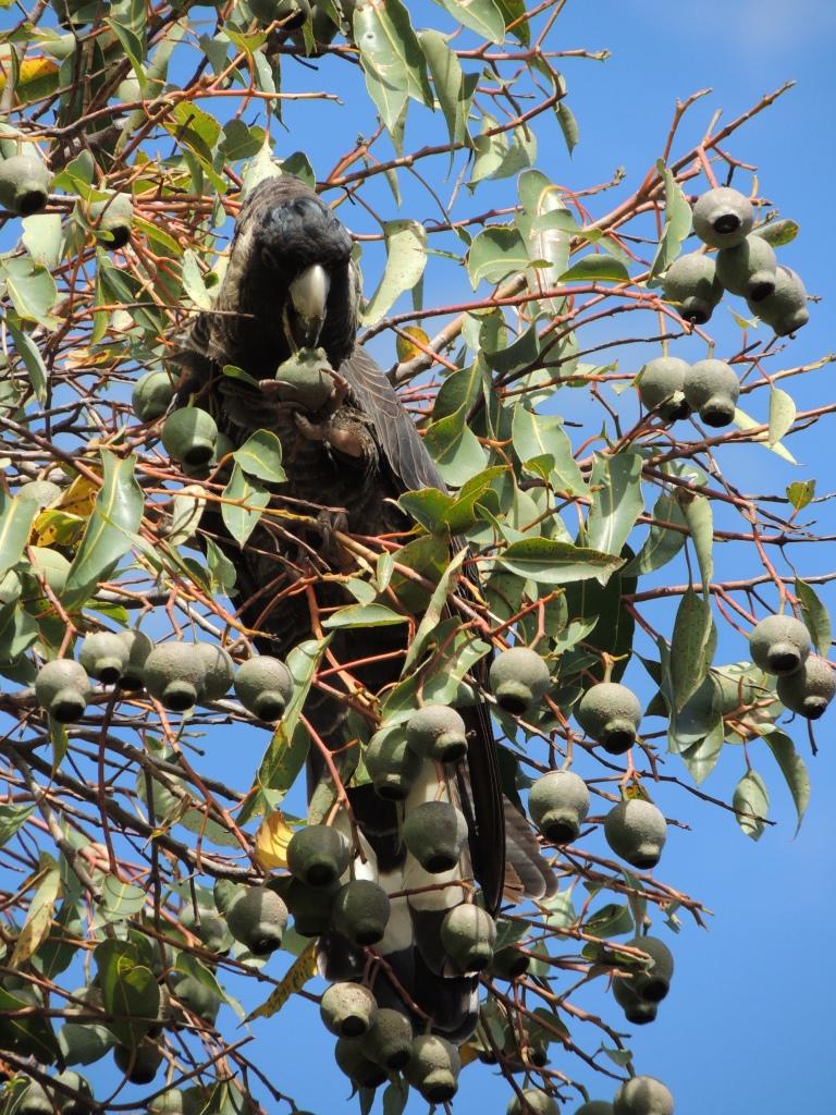 Endangered Black Carnaby Parrot