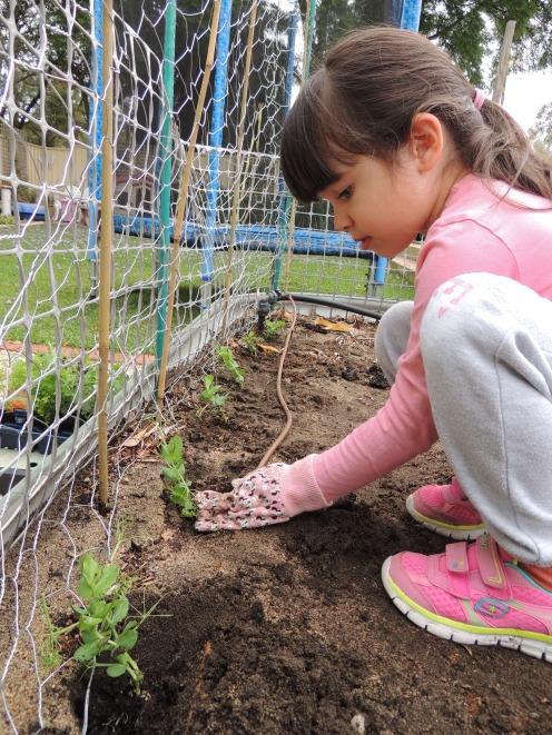 Planting pea seedlings